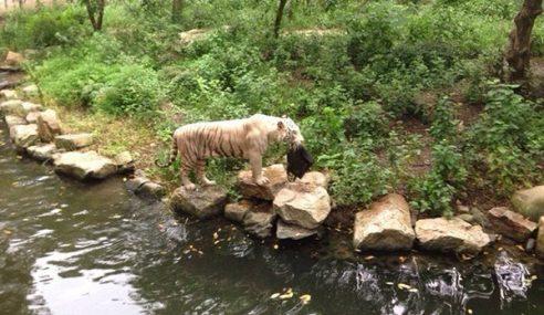 Harimau Larikan Beg Tangan Pengunjung Zoo
