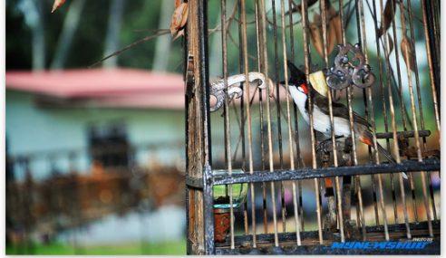 VIDEO : Aksi Abe Pengkalan Kubor Main Burung
