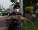Gambar Tikus Besar Di Malaysia?? KJ Pun Terkejut