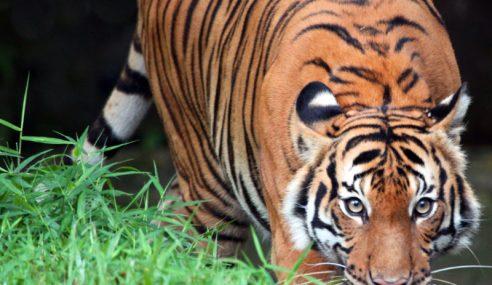 Perhilitan Terengganu Nafi Ada Harimau Belang Di Setiu