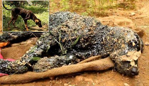 Anjing Bertukar Keras Macam Batu Selepas Jatuh Dalam Tar