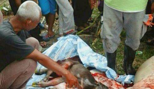 Janin Ditemui Dalam Perut Lembu Korban, Halalkah Dimakan?