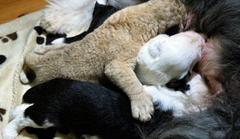 Kasih Ibu Anjing Terhadap Anak Singa Menyentuh Hati