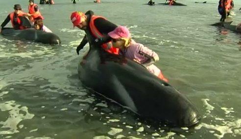 36 Ikan Lumba-Lumba Mati Terdampar Di New Zealand