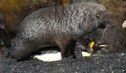 Akibat Tekanan Cuaca Panas, Anjing Laut Rogol Penguin
