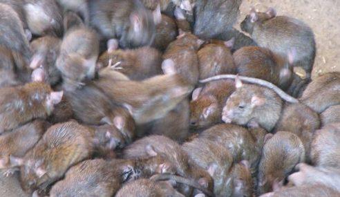 Akibat Banyak Anjing, Tikus Mula 'Banjiri' Singapura