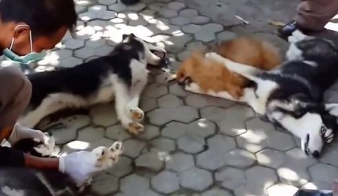 Gabenor Bali Arah Penduduk Bunuh Anjing Jalanan