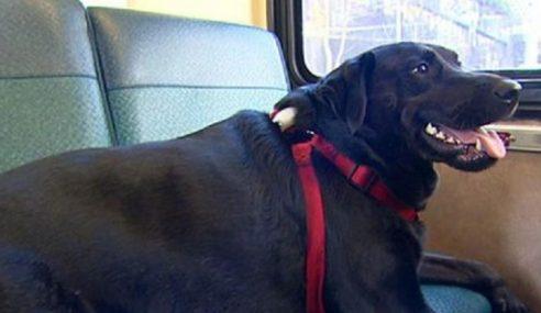 Anjing Naik Bas Untuk Pergi Bersiar Ke Taman Setiap Hari