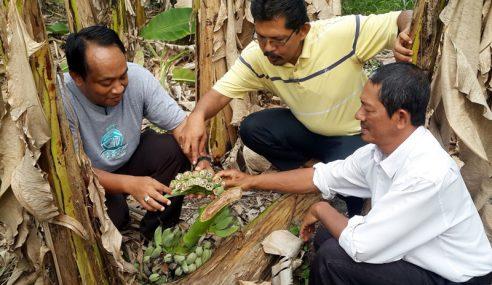 Tanaman Pisang Di Balik Pulau Diserang Penyakit Layu