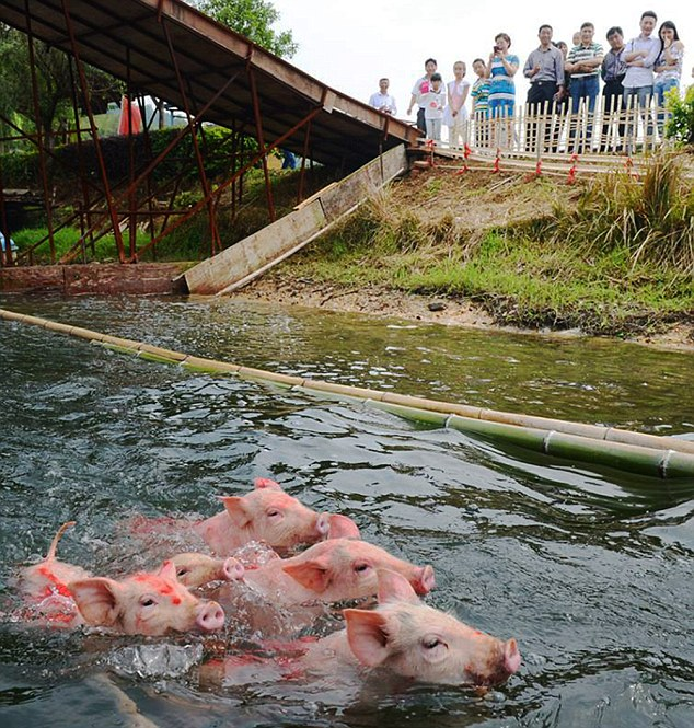 Acara Babi Lumba Renang Di China Dikritik Penduduk