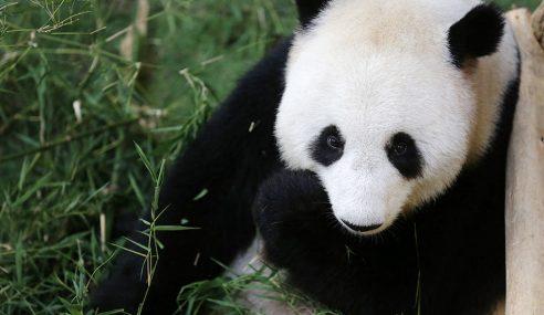Najib Gembira Panda Di Zoo Negara Lahirkan Anak