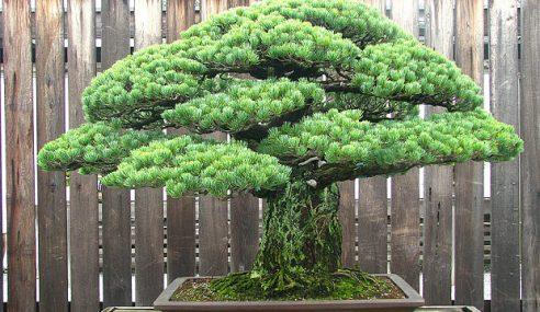 Bonsai 390 Tahun Terselamat Bom Atom Hiroshima