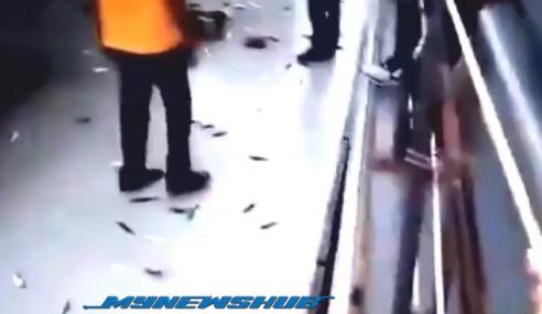Video: Fenomena Ikan 'Menyerah Diri' Kembali Berlaku Di Sabah