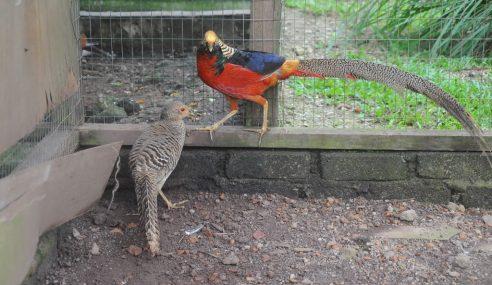 Burung Kuang, Khazanah Negara Yang Kian Pupus