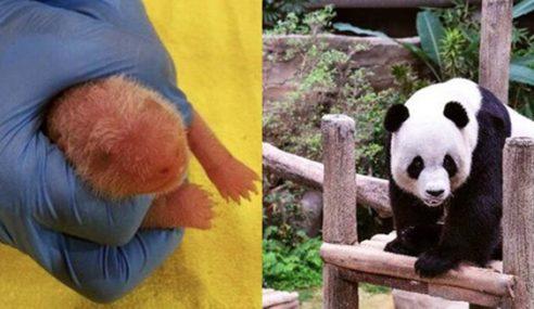 Berat Anak Panda Meningkat Sekali Ganda