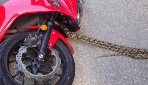 Gambar: Terkejut Ular Sawa Keluar Dari Motosikal