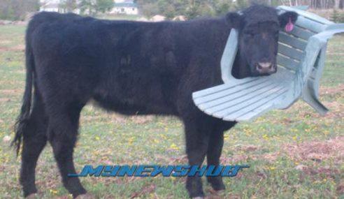 Kelakar.. Kerusi Taman Tersangkut Di Kepala Lembu
