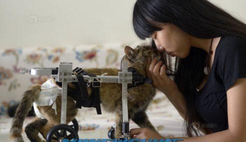 Wanita Cipta Kerusi Roda Istimewa Untuk Kucing Lumpuh