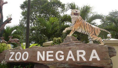 Zoo Negara Nafi Harimau Mati Ditembak