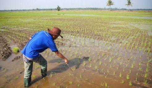 Banjir: KADA Minta Petani Tanam Padi Ikut Jadual