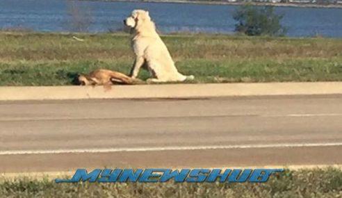 Anjing Setia Tunggu Rakan Mati Dilanggar Kereta Jadi Viral