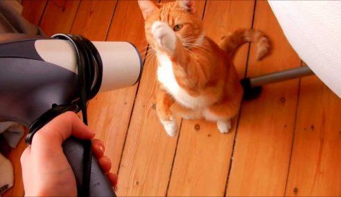 Video: Anak Kucing 'Dibersih' Dengan Pengering Rambut