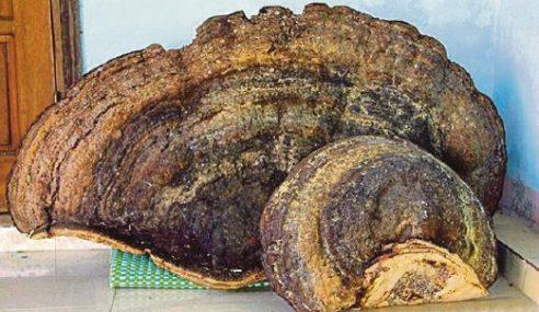 Pembalak Temui Cendawan Lingzhi Seberat 70kg