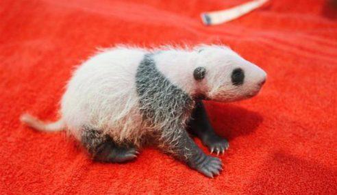 Rakyat Malaysia Dipelawa Beri Nama Kepada Anak Panda