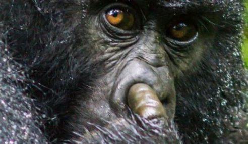 Gambar Gorila Korek Hidung Jadi Sensasi Internet