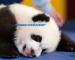Inilah Pekerjaan Paling Mudah, Jadi Panda