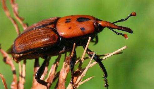 Jabatan Pertanian Mulakan Kempen Hapus Kumbang Merah Palma