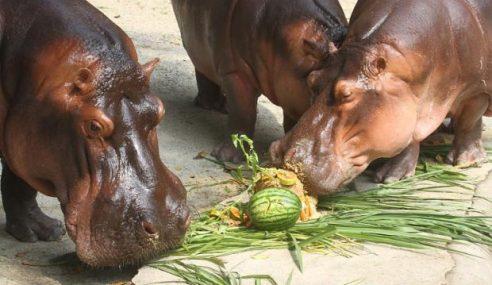 Pengunjung Zoo Turun Mendadak Akibat Cuaca Panas