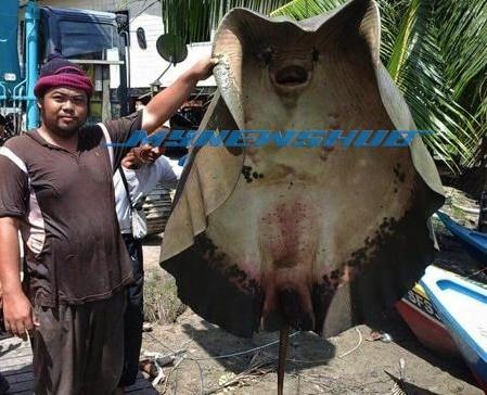 Pari Gergasi 305 Kilogram Berjaya 'Ditawan' Nelayan