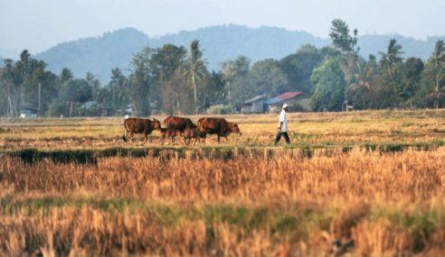 El-Nino: Lebih 3,000 Pesawah Di Bagan Serai, Parit Buntar Terjejas