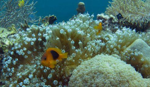 El Nino Tidak Jejas Terumbu Karang Taman Laut Pulau Payar