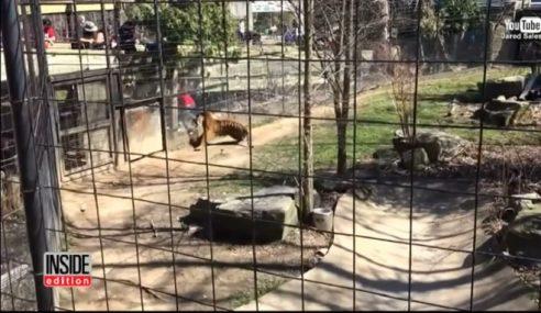 Detik Cemas Wanita Nekad Terjun Kandang Harimau