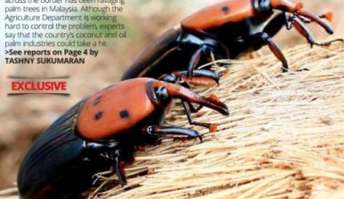 Kumbang Mungkin Jejaskan Sektor Minyak Sawit