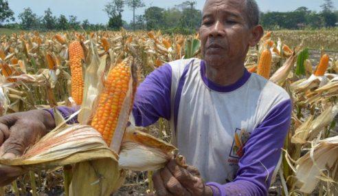 El Nino: Pengusaha Jagung Di Tanah Merah Kerugian RM100,000