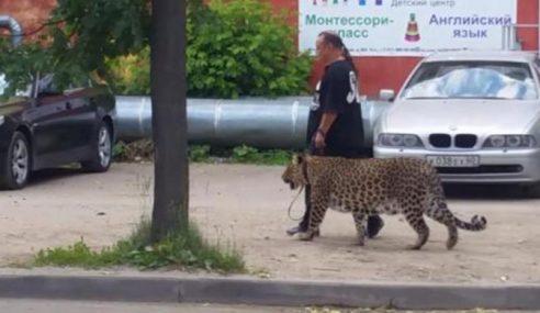 Video: Gempar, Lelaki Dilihat Bawa Leopard Bersiar-Siar