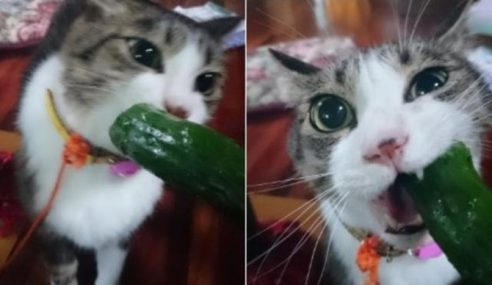 Kucing Hokuro-kun Tak Buru Tikus, Tapi Kunyah Timun