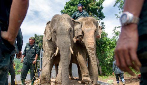 13 Gajah Liar Rosakkan Tanaman Di Baling