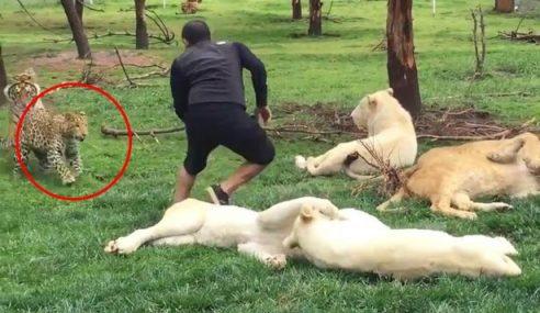 Pak Belang 'Lindung' Penjaga Zoo Diterkam Harimau Bintang