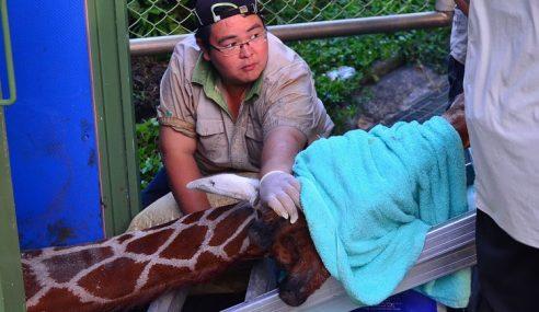 Hsiao Chiu, Si Zirafah Mati Saat Panik Cuba Dipindahkan