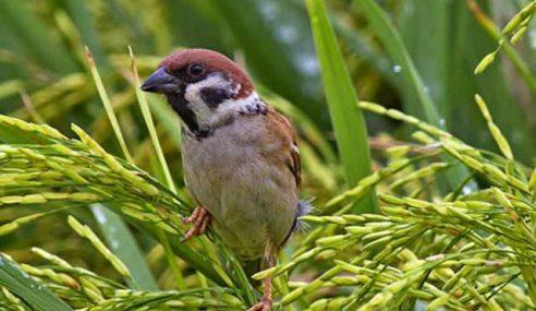 Banyak Kicauan Burung Boleh Tambah Hasil Padi