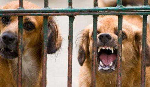 Abang Johari Lancar Papan Tanda Notis Anjing Gila