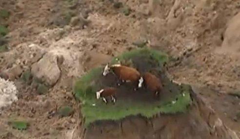 3 Lembu Mangsa Gempa Terburuk NZ Jadi Perhatian