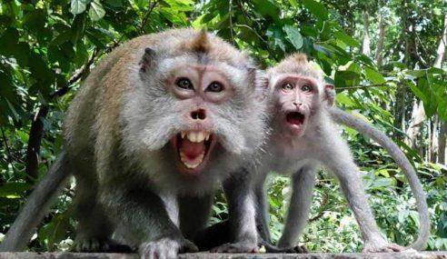 Perhilitan Diminta Tangani Monyet Liar Di Kamunting