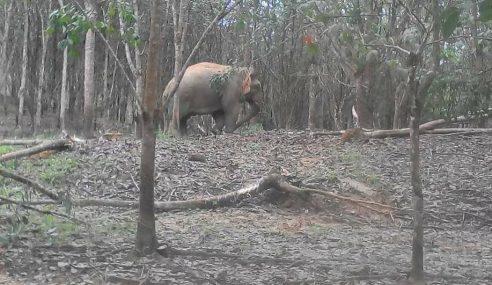 Perhilitan Tangkap Gajah Jantan Ceroboh Kebun Getah