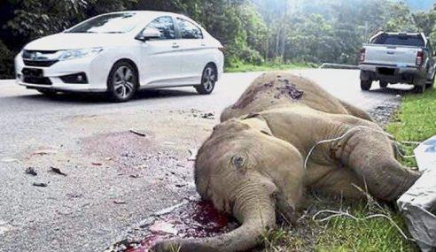 Anak Gajah Ditemukan Maut Di Bahu Jalan