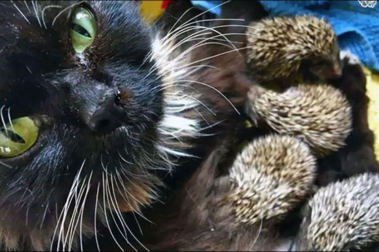 Ibu Maut Dilibas 8 Anak Landak Disusui Kucing Ini Mynewshub